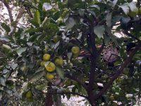 素敵なお庭に「柚子の木」